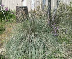 muhly grasses make showy garden accents houston chronicle