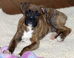 boxer dog doormat 2189 best boxers images on pinterest