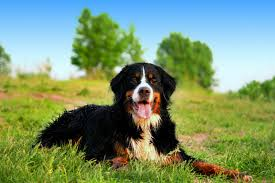 Wallpaper Dog Bernese Mountain Dog Wallpapers 41 Pc Bernese Mountain Dog Photos