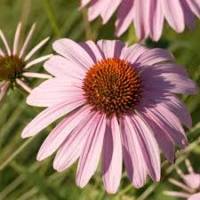 the best flowers to attract predator beneficial insects to your