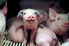 the fbi u0027s hunt for two missing piglets reveals the federal cover