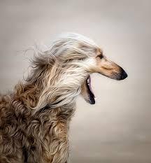 afghan hound apartment 40 best afghan hounds images on pinterest afghans afghan hound