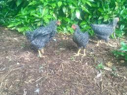 8 week old barred rocks hens or roosters please help backyard