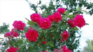 typing training and pruning tips for climbing roses how to do