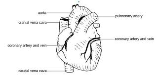 Anatomy And Physiology Labeling Anatomy And Physiology Of Animals Cardiovascular System The Heart