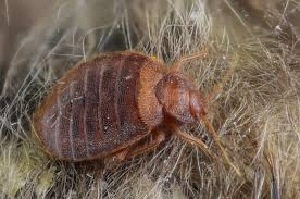 Bed Bugs Disease Bed Bugs Grow Into Adulthood Faster When Part Of A Group What