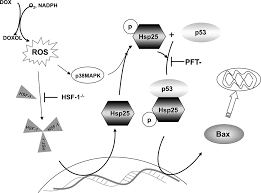 role of heat shock factor 1 activation in the doxorubicin induced