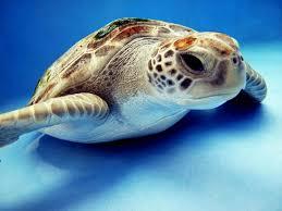 imagenes tortugas verdes se duplica el número nidos de tortuga verde en florida una especie