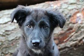 belgian shepherd or border collie free images black and white puppy cute pet border collie