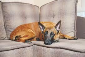 belgian shepherd laekenois rescue utterly fabulous information about the belgian shepherd dog breed