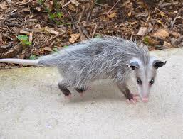 are possums dangerous nov 2017 a closer look at this