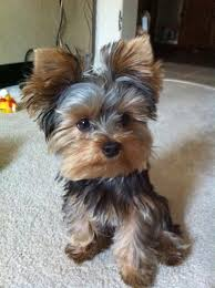 tea cup yorkie hair cuts yes i know i m cute yorkshire terrier pinterest