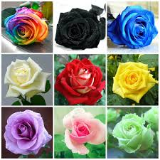 roses colors popular 1800 roses buy cheap 1800 roses lots from china 1800 roses