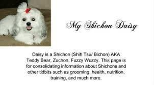 shichons haircut my shichon daisy home