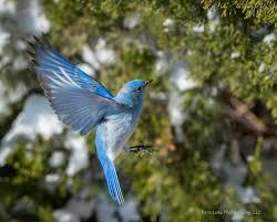 The Backyard Bird Company - attracting bluebirds western eastern mountain bluebirds