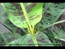 how to care for ornamental bananas musa musella ensete