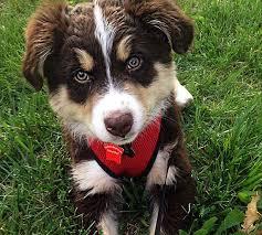 australian shepherd lovers 8 best puppies for sale images on pinterest pandas australian