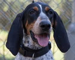 bluetick coonhound apparel 37 best bluetick coonhound images on pinterest bluetick