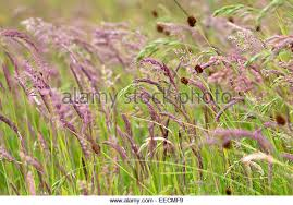 ornamental grass uk stock photos ornamental grass uk stock