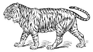 coloring pages of tigers vintage tiger coloring page free clip art