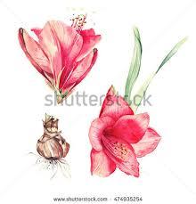 Amaryllis Flowers Amaryllis Bulb Stock Images Royalty Free Images U0026 Vectors
