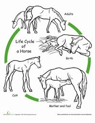 color the life cycle horse worksheet education com
