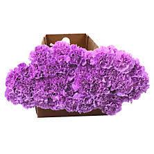 Purple Carnations Carnations Sam U0027s Club