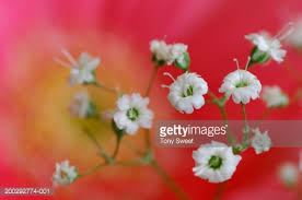 Baby Breath Flowers Baby Breath Flowers Closeup Stock Photo Getty Images
