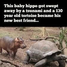 Baby Hippo Meme - baby hippo and 130 year old tortoise become best friends by