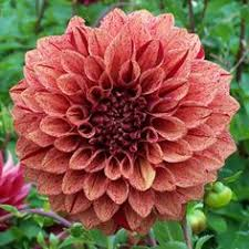 Garden Express Summer Catalogue - full size picture of canna lily u0027rosever u0027 u003ci u003ecanna x generalis u003c i