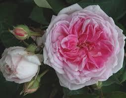 roses china blairii no 2 pink china climber historic
