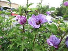 Hibiscus Syriacus Double Purple Double Purple Roase Of Sharon