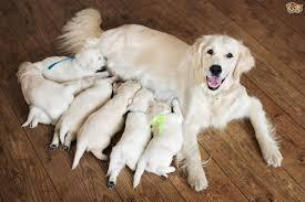 boxer dog 3 weeks pregnant dog pregnancy a week by week pregnancy calendar pets4homes
