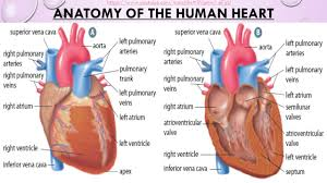 Heart Anatomy Youtube The Circulatory System And The Beat Goes On U2026 Https Www Youtube