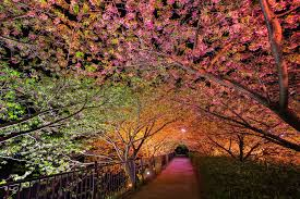 japan flower tunnel spring in japan wonderful wisteria billions of exquisite blooms