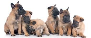 belgian malinois photos belgian malinois puppies malinois pinterest