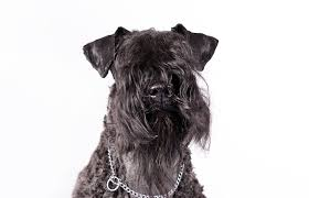 affenpinscher judging list show your dog in the akc national owner handled series american