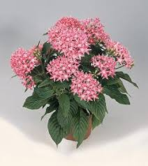 pentas flower jim s favorite pentas flower garden seeds
