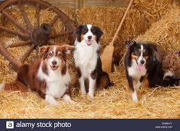 australian shepherd family dog australian shepherds dog and and miniature australian