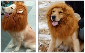 lion dogs lion wig for dogs
