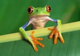 eyed treefrog deskarati