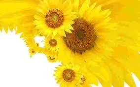 foto wallpaper bunga matahari wallpaper bunga matahari yang cantik pernik dunia