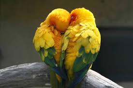 cute parrot couple birds animal love hd wallpaper love wallpaper