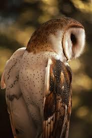 Barn Owl Photography Elegant Owl Photography 7