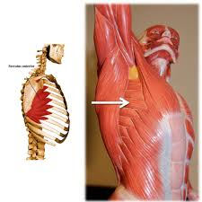 Human Anatomy Muscle Muscle Of The Month Serratus Anterior Your Way To Bliss In