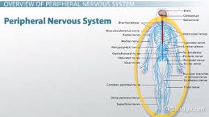 Anatomy And Physiology Nervous System Study Guide Peripheral Nervous System Definition Function U0026 Parts Video