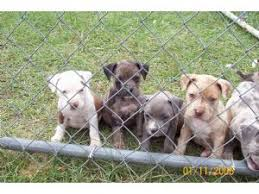 american eskimo dog for sale in colorado american pit bull terrier puppies for sale