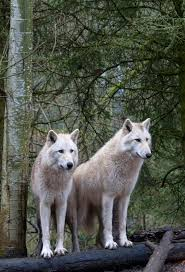 white wolf pair at the woodland park zoo in seattle wall mural save your design for later
