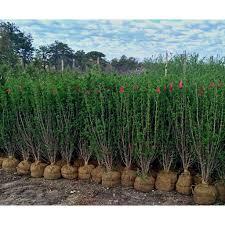 Flowering Privacy Shrubs - screening shrubs u2013 bay gardens bay gardens