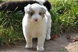 australian shepherd welpen 6 monate australian shepherd in mannheim hunde kaufen u0026 verkaufen auf